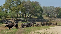 Herd Of Cape Buffalo (Susan Roehl) Tags: southafrica2015 malamalagamereserve southafrica nearkrugernationalpark capebuffalo herd grazing animal mammal herbivore outdoors sueroehl photographictours panasonic lumixdmcgh4 100300mmlens takenfromjeep handheld ngc