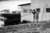A friend (Neca 79) Tags: dog animal bw monochromatic black white grainy noisy old eyes canon eos1dsmarkiii ef135f2lusm zemun semlin belgrade serbia zemunskikej friend pet cute lovely autumn fall
