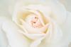 crème de rose (christophe.laigle) Tags: rose blanche fleur macro crème pluie nature xf60mm gouttes drops flower pureté xpro2 christophelaigle white queenrose