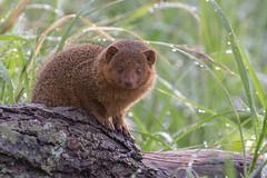 IMG_0233.jpg (bryanleece) Tags: dwarfmongoose mongoose tanzania tarangire