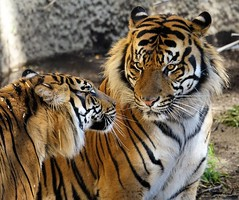 I Only Have Eyes For You (greekgal.esm) Tags: sumatrantiger tiger bigcat cat feline animal mammal carnivore cj castrojr indah losangeleszoo lazoo losangeles griffithpark california sony rx10m3 rx10iii