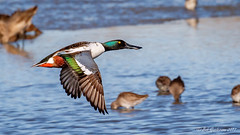 Northern Shoveler [Explored] (Bob Gunderson) Tags: anasclypeata baylands california dabblingducks ducks northerncalifornia northernshoveler santaclaracounty southbay explore