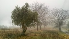 Inverno (Marco Tiano) Tags: winter 2017 fog trees italy calabria olive