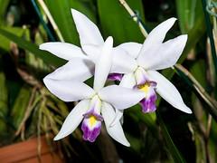 Laelia anceps alba (Eerika Schulz) Tags: laelia anceps alba berggarten hannover herrenhausen herrenhäuser garten orchidee eerika schulz