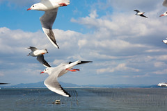 DSC_6823.jpg (kTomoyuki) Tags: 鷗 鴎 seagull カモメ かもめ 熊本市 熊本県 日本 jp