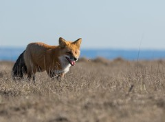 The Fox & The Grasshopper (T0nyJ0yce) Tags: redfox vulpesvulpes grasshopper bugs insect wildlife animals mammals fox predator wild foxes canon7dmarkii tamron150600