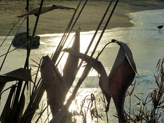 Contre-jour (Raymonde Contensous) Tags: roseaux glace gel nature gallinules parczoologiquedeparis zoodevincennes pzp graphisme