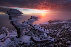 Rest in Peace (DBPhotographe) Tags: ventoux france vaucluse mistral paca provence wind ice sunrise landscape mountain snow blizzard icedrift tree dead cold winter mont fog mist pink
