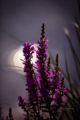 Evening delight (CecilieSonstebyPhotography) Tags: canon canon5dmarkiii ef100mmf28lmacroisusm ef70200mmf28lisiiusm markiii bokeh closeup flower flowers grass purple sky august summer