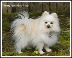 Happy Anniversary Molly ! (mariannedeselle (slowly catching up)) Tags: dog molly pomeranian pom spitz littledog whitedog