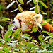 Female Red Panda, Lara of Yokohama Zoological Gardens : レッサーパンダのララ(よこはま動物園ズーラシア)
