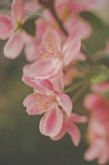 Every flower is a soul blossoming in nature. Gerard De Nerval (LornaTaylor) Tags: copyright2017lornataylor greenlandgardencenter lensbender lornataylor lornataylorphotography nikon taylorimagesca bokeh flowers lensflare 28mm freelensing nikon28mmf28ais