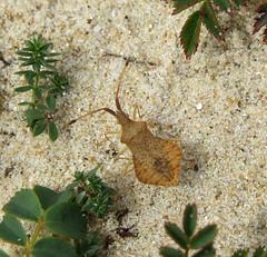Syromastus rhombeus - Les Blanches Banques Dunes, Jersey 2015e (Steven Falk) Tags: steven falk rhombic leatherbug rhombeus syromastus