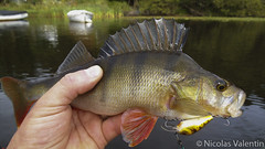 Good Looking perch (Nicolas Valentin) Tags: light lake landscape scotland aqua kayak alba adventure kayaking perch l loch poisson lomond lochlomond peche ecosse kayakfishing aplusphoto kayakscotland kayakfishingscotland