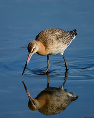 Black-tailed godwit : Limosa limosa (Jerry Hawker) Tags: black bird water animal hole mud outdoor devon marsh waders bhm wader godwit limosa blacktailed