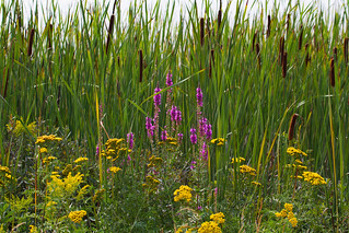 Cattails, tansy and purple loosestrife