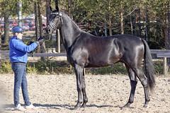 Don de Jeu (anniina.salmi) Tags: horseshow stallion conformation kwpn dondejeu