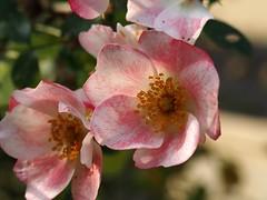 Solstrejf (Lajla Stausholm) Tags: lyserd blomt
