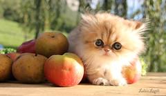 Lapilli1 (ju de foto) Tags: golden shell extrieur pomme chaton persan