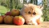 Lapilli1 (ju de foto) Tags: golden shell extérieur pomme chaton persan