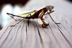 My pet (Benny2006) Tags: wood closeup canon mantis insect live prayingmantis 250d 40d