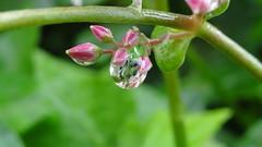 Laura Star (Laurence Bee) Tags: flowers flower macro nature animal garden bright outdoor nectar pollen apis mellifera specnature depth field