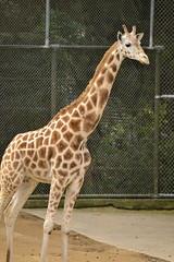 Giraffa camelopardalis DT [NZ Auckland Zoo] (9) (Archivo Murcilago Blanco) Tags: africa fauna auckland mammals mammalia aucklandzoo nuevazelanda ungulates giraf jirafa giraff mamifero artiodactyla giraffidae oceana cetartiodactyla ungulado ungulados tirira diegotirira archivomurcielagoblanco