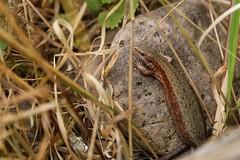 20/365 (Cecilia Adolfsson) Tags: wild beach animal canon sweden outdoor lizard österlen 6d ödla skogsödla