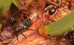 Feeding on honey dew (Jenny Thynne) Tags: ant honeydew insects ants callistemon symbiosis mutualism hoppernymph