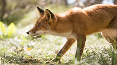 What's up there ? (Alex Verweij) Tags: canon young fox 5d pup predator jong vos markiii waakzaam oplettend alexverweij