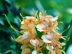 Ginger lily (Mohri63) Tags: gingerlily