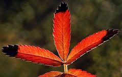 Blackheads (Kari Siren) Tags: autumn red macro leave blackheads