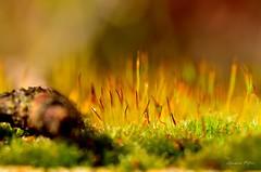 Lit de mousse (rj@ubertsb) Tags: macro nature eau couleurs sony mousse sbastien chaude tamronspaf90mmf2 rjubertsb meleux