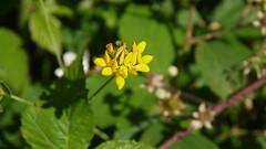 Anglų lietuvių žodynas. Žodis yellow vetchling reiškia geltona vetchling lietuviškai.