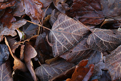 Brown Leaves Texture 1 (gripspix (OFF)) Tags: autumn brown texture leaves herbst braun bltter textur 20151208