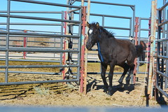 Water Canyon wild horses up for adoption Saturday, Dec. 5, 2015, at White Pine County Fairgrounds, Ely, Nevada (BLM Nevada) Tags: horses nevada adoption blm wildhorse foals yearling yearlings weanling whb watercanyon weanlings blmnevada