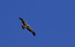Aigle botté (forme pâle)  Hieraaetus pennatus - Booted Eagle - IMG_4519 (6franc6) Tags: languedoc gard 30 petitecamargue novembre vélo kalkoff rando 2015 6franc6 rapace
