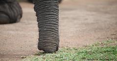 Trunk Close Up (meredith_nutting) Tags: africa elephant rwanda herd africanelephants ellies eastafrica easternafrica breedingherd