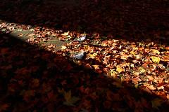 Pigeons choose the bright side! (purpinka) Tags: city autumn light two sun fall leaves foglie dark ray shadows pigeons ombra beam bologna sole autunno sunbeam due luce citt piccioni raggio