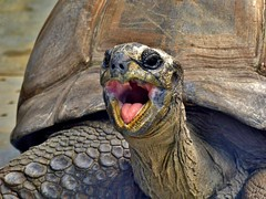 Mde *** Sleeeepy (BrigitteE1) Tags: animal germany de geotagged deutschland zoo big turtle hamburg tortoise shell tortoiseshell sleepy mde moe huge tortuga tartaruga tortue cansado bocejo gros panzer yawning ghnen  schildkrte trtt  lelah billement fatigu riesig turtleshell stanco tierparkhagenbeck  landschildkrten  specanimal  picy aldabrariesenschildkrte seychellenriesenschildkrte gspning  aldabrachelysgigantea fz200  panasonicdmcfz200  landdwellingvertebrates