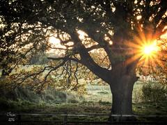 Trim 2016 (jim2302) Tags: tree oak ireland sunet autumn 2016 outdoor serene sunset color f22 iso800 trim meath fence frost fog m5markii flare sunburst beams
