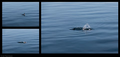 The dive of the cormorant (Anthony P26) Tags: animalsbirdsinsects art birds category composite erdek places turkey wildlife outdoor sea bay water ripples waves bird seabird dive diving splash watersplash ripple canon canon70d canon1585mm photoborder triptych