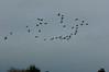 Canada geese flying by (Dave_A_2007) Tags: brantacanadensis bird canadagoose goose nature wildlife bidfordonavon warwickshire england