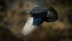 Rock Dove (Photography And Artwork of Melissa McCarthy) Tags: rockdove pigeon bird animal inflight bif flying nature outdoor morninglight pretty flyby canon400mm canon7dmarkii stjohns newfoundland iridescent