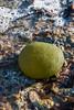 Codium Bursa (Blacklili) Tags: codiumbursa alga algae seaweed mediterranean sea beach algas