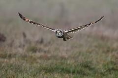 Short-eared owl (Marvandae) Tags: shortearedowl velduil uitkerksepolder bird vogel