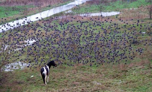 starlings / скворцы