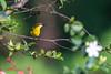 Souimanga à dos vert femelle (Philippe Lécuyer) Tags: lombok wildlife bird20iocreplaceoldbirdlist nature oiseau olivebackedsunbird souimangaàdosvert indonesia bird avifauna cinnyrisjugularis nectariniidae