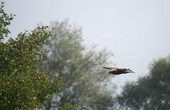 IMG_2029b (Jean-hugues LE DALL) Tags: oiseaux rapace busard roseaux