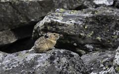 The Littlest Lagomorph (courtney_meier) Tags: americanpika grandtetonnationalpark ochotonaprinceps wyoming bokeh lagomorph lichen pika rocks